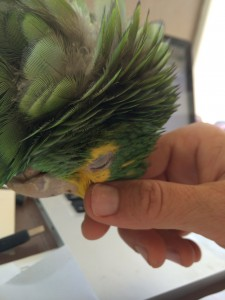 Double Yellow Headed Amazon Hugo gets scratches when he asks.