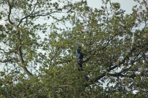 Hyacinth Macaw Leo lands in a tree on one of his first big flights