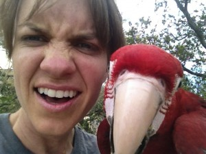 Stressss face! Greenwing macaw Luca finally learned to come out of a tree during an early training flight.