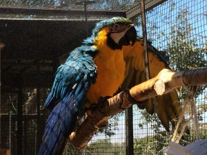 Blue and Gold Macaw Felix enjoying his 10x15 aviary