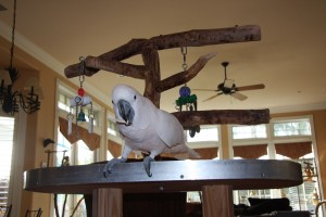 Moluccan cockatoo on a parrot playgym